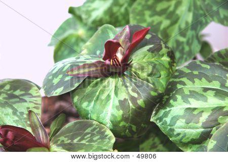Beautiful Purple Trillium