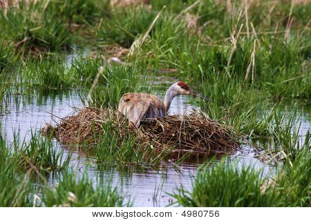Sandhill Crane Nesting