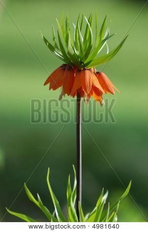 Tall Orange Fritillaria Imperialis