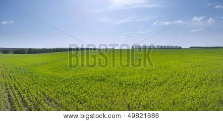 Spring Field Of Young Wheat