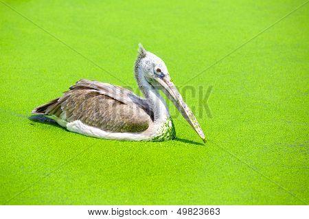 Closeup spot billed pelican in a swamp