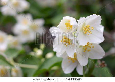 shrubbery jasmine