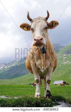 Cow in alpine meadow