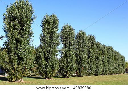 Trees In Alignment