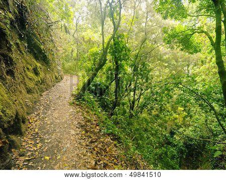 Los Tilos Forest, La Palma