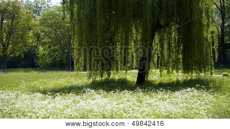 Green Weeping Willow