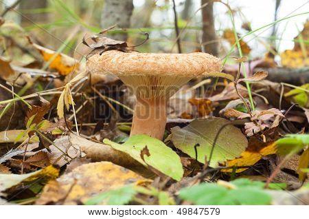 Lactarius Torminosus. Edible Mushroom