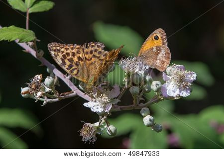 Silver-washed Fritillary And Gate Keeper Butterflies