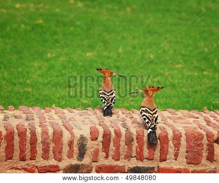 Two Hoopoe On An Ancient Brick Wall