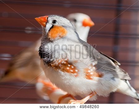 Cut-throat Finch Bird