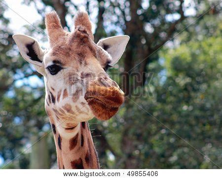 Giraffe (giraffa Camelopardalis) Close Up