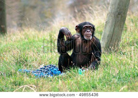 Chimpanzee Poses