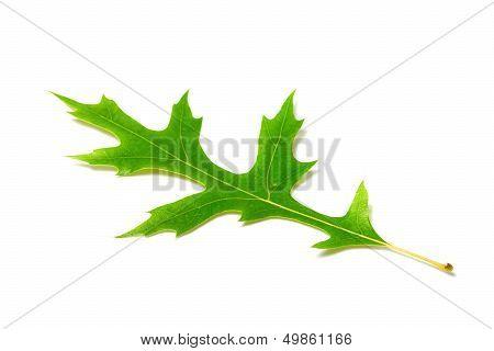 Green Oak Leaf On White Background