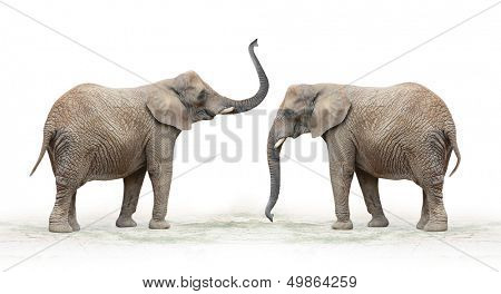 The African Elephant (Loxodonta africana) on a white background.