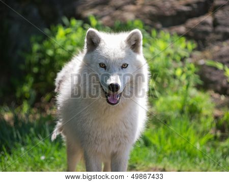 Arctic Wolf Standing With Open Mouth In Summer
