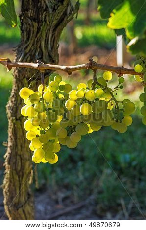 Juicy grapes on the vine in autumn