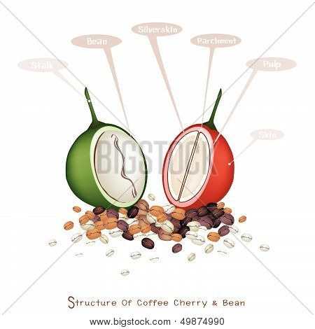Structure Of Ripe And Unripe Coffee Berries