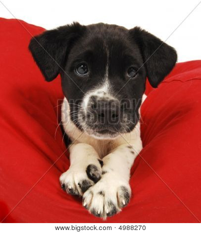 A cute black and white puppy