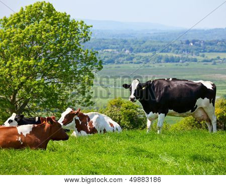 Holstein cows grazing at pasture in England