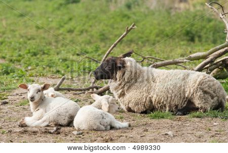 Suffolk Ewe With Triplets