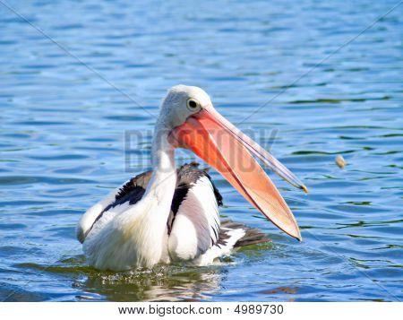 An Australian Pelican Catching Food