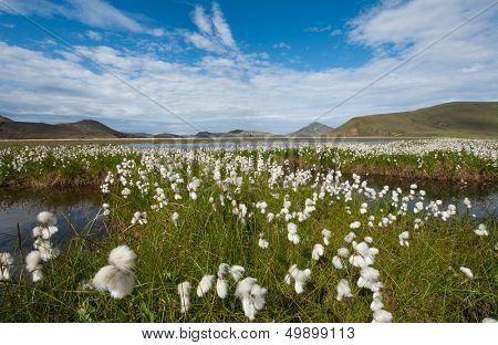 Field of cotton grass in a valley surrounded by mountains and glacial lakes at Landmannalaugar, Iceland