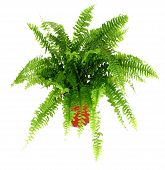 foto of pot plant  - Fern in a pot isolated on white - JPG