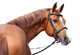 stock photo of bridle  - Russian Don horse isolated on white background - JPG