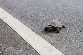 Asian turtle moving across the road