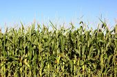 picture of corn cob close-up  - a corn field close up before the summer harvest - JPG