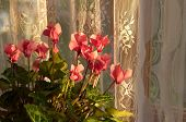 foto of lace-curtain  - Pink cyclamen on a background of lace curtains - JPG