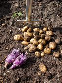 picture of rich soil  - pile of potatoes and kohlrabi freshly harvested from a kitchen garden and garden fork with rich dark garden soil - JPG