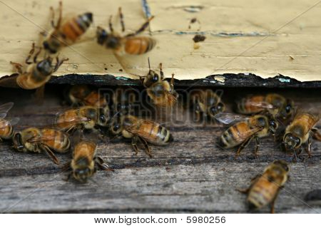Honey Bees Coming And Going