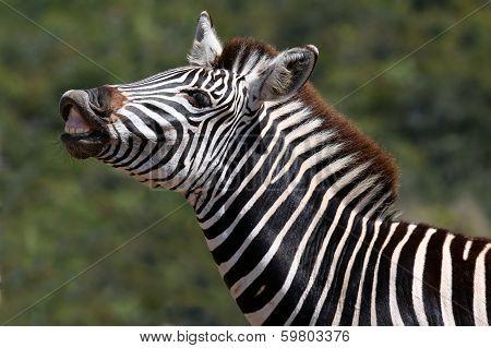 Zebra Flehman