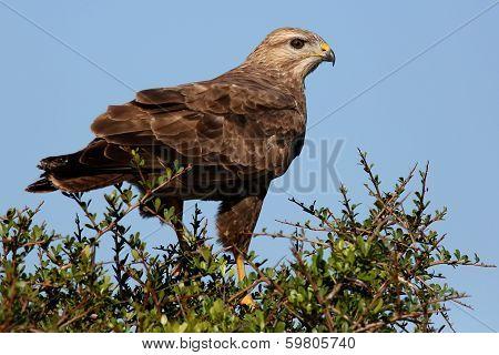 Steppe Buzzard Bird Of Prey