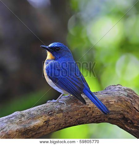 Male Hill Blue Flycatcher