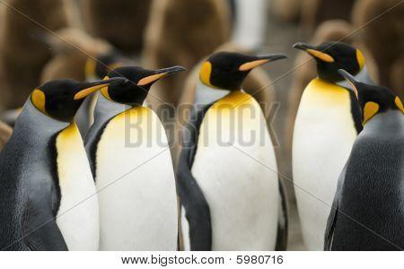 King Penguin Meeting