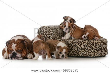 bulldog litter - five english bulldog puppies with their father sleeping beside them isolated on white background