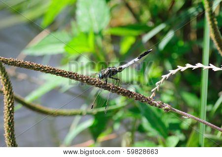 Libellula Fulva (scarce Chaser Dragonfly)