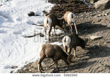 mouflon in canadian rockies