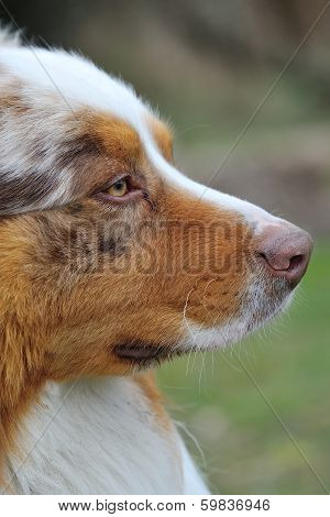 Australian Shepherd Head From Side