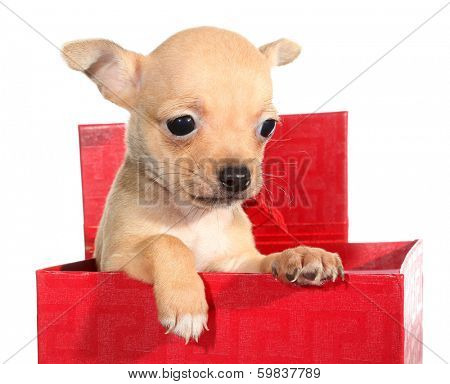Tan chihuahua puppy small dog peeps from gift box