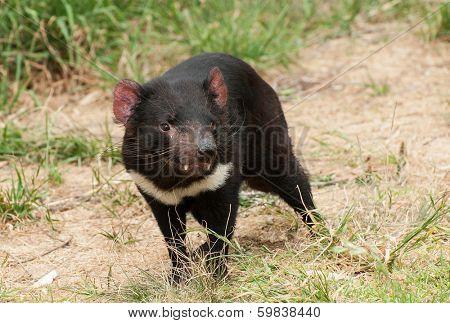 Tasmanian Devil (Sarcophilus harrisii) is an endemic Australian endangered carnivorous marsupial