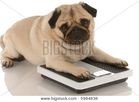 Pug Laying On Weigh Scales