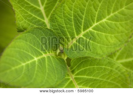 Hydrangea Leaf Beautiful Close Up