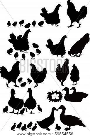 Cock and hen and chickens are isolated on white
