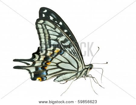 Butterfly (papilio Xuthus)