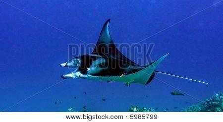 Manta flying thru water