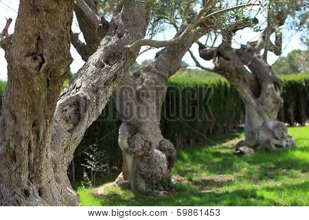 Gnarled Old Trees Growing In A Garden