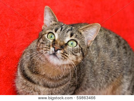 Tabby Cat On Red